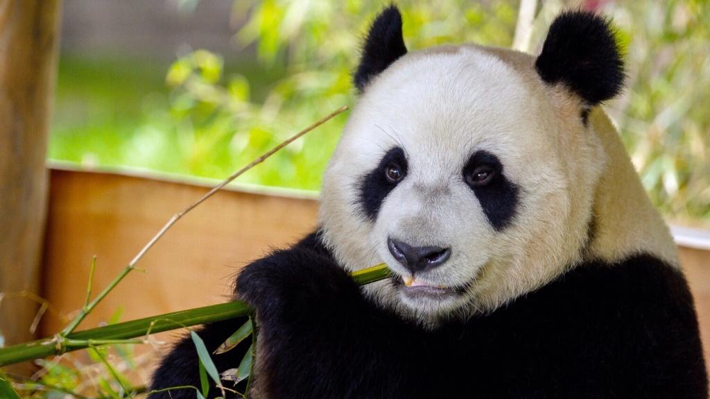 Ouwehands Dierenpark Panda